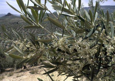 32C – Microbiota bacteriana asociada al polen del olivo